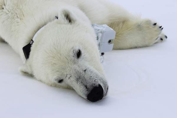 Associated Press A Polar Bear Is Wearing GPS Video Camera Collar Lying On Sea Ice In The Beaufort Study Shows Some Bears Arctic Are