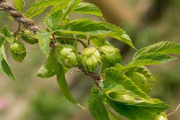 Sugar Creek Farms The commercial hops industry in Indiana is still in its infancy, growing from eight acres in 2014 to 25 this year.