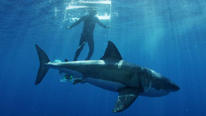 Discovery Channel via AP In this 2015 photo provided by Discovery Channel, a great white shark researcher stands in the clear shark cage while a great white shark swims by during an episode of Shark Week. The television series returns Sunday, July 5, 2015, with 19 hours of prime-time programming including Shark Island with shark specialist Craig O'Connell, airing 8 p.m. EDT Sunday, July 12.