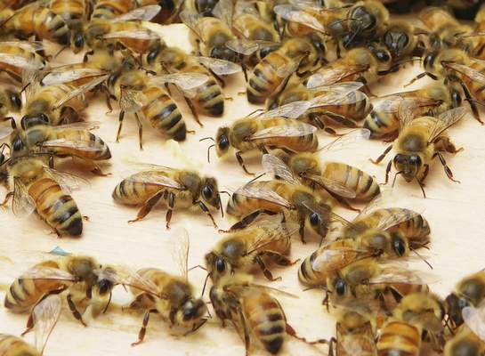 Photos by Cathie Rowand | The Journal Gazette The inner cover of a hive is covered by honeybees. Hive die-off has become an increasing concern.