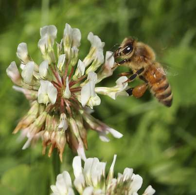 One way to help honeybees is to allow clover to grow in your yard.
