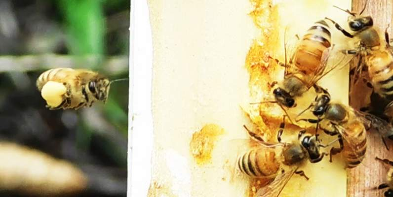 The honeybee at the left returns to the hive with its pollen sacs full.