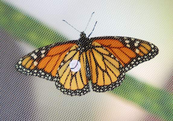 A tagged monarch butterfly rests against netting during the Monarch Festival on Sunday.
