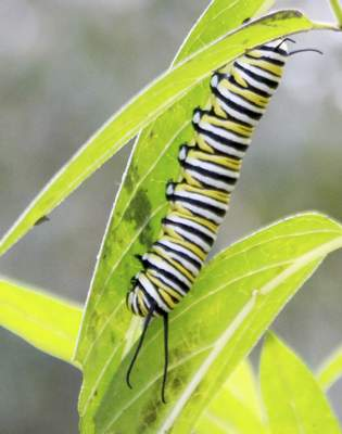 Rachel Von | The Journal Gazette A monarch caterpillar crawls on a milkweed plant during the Monarch Festival at the Eagle Marsh Nature Preserve on Sunday. Visitors were able to view live monarch caterpillars and adults as well as learn about butterflies, plant a milkweed, make a butterfly costume and much more! VIDEO/GALLERY