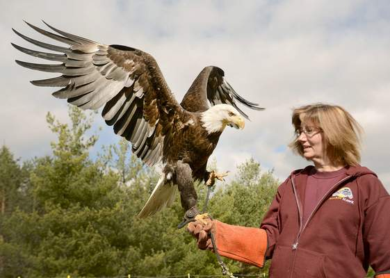 Samuel Hoffman | The Journal Gazette Sandy Moore gives a bald eagle named Jefferson some fresh air at the Soarin' Hawk Raptor Rehabilitation Center. Jefferson's lame left wing makes him unable to be released into the wild, so he is an education bird at the facility.