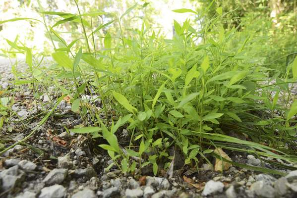 Cathie Rowand | The Journal Gazette Japanese stiltgrass, an invasive plant species, grows in Huntertown. A statewide nonprofit dedicated to native plant species has opened a local chapter and will hold its first event on July 29.