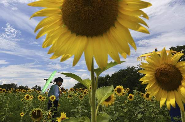 Washington Post Researchers believe sunflowers follow the sun throughout the day based on a circadian rhythm, just like animals.