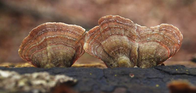 Cathie Rowand | The Journal Gazette Turkey tail shelf mushroom can be seen at ACRES Land Trust's Fogwell Forest preserve at 9999 Whippoorwill Drive in Fort Wayne. Spring wildflowers are expected to peak near the end of April.