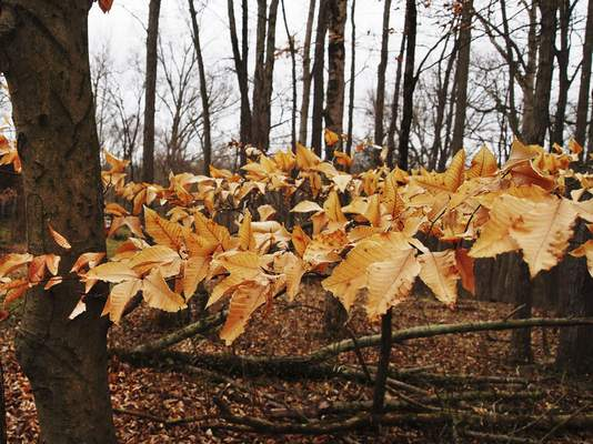 Cathie Rowand | The Journal Gazette Leaves on a beech tree have lasted through the winter and into spring at the Tom and Jane Dustin Nature Preserve.
