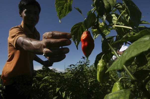 Associated Press To fight osteoarthritis, Centrexion Therapeutics Corp. is developing an injection using synthetic capsaicin, the active ingredient in chili peppers.
