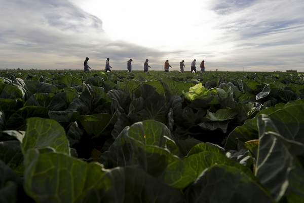 In this March 6, 2018 photo, farmworkers walk through a field of cabbage during harvest outside of Calexico, Calif.  (AP Photo/Gregory Bull)