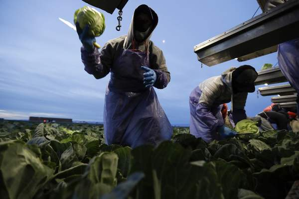 In this March 6, 2018 picture, farmworker Santiago Martinez, of Mexicali, Mexico, picks cabbage before dawn in a field outside of Calexico, Calif.  (AP Photo/Gregory Bull)