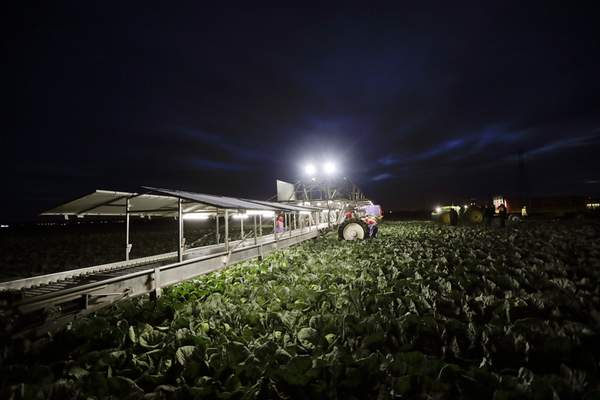 In this March 6, 2018 photo, farmworkers harvest cabbage before dawn in a field outside of Calexico, Calif. For decades, cross-border commuters have picked lettuce, carrots, broccoli, onions, cauliflower and other vegetables that make California's Imperial Valley America's Salad Bowl from December through March.  (AP Photo/Gregory Bull)