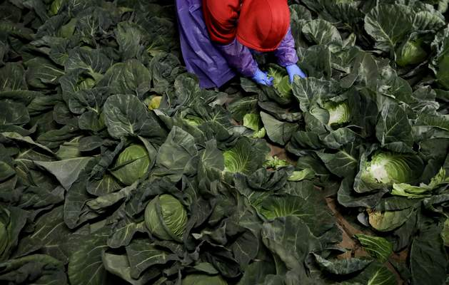 In this March 6, 2018 photo, farmworker Elias Solis, of Mexicali, Mexico, picks cabbage before dawn in a field outside of Calexico, Calif.  (AP Photo/Gregory Bull)