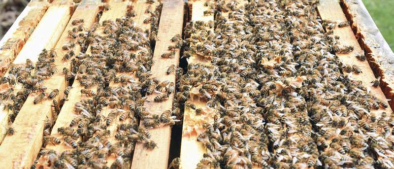 Cathie Rowand | The Journal Gazette Honey bees move in around the frames as Chris LaSalle checks to see how well the hive wintered.