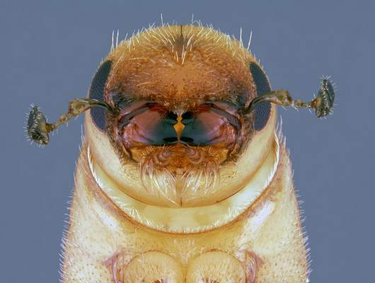 USDA Forest Service via AP A southern pine beetle is shown completing its metamorphosis into an adult. The rice-sized insects are heading north as the climate warms.