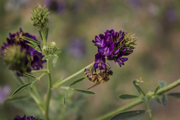 Associated Press A study finds honeybees in the Northern Great Plains are struggling to find food as conservation land is converted into row crops.