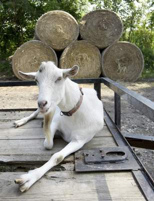 Ollie was the only one of 120 goats to survive starvation in Missouri.