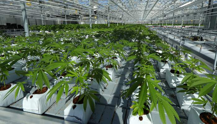 Associated Press Marijuana plants are shown growing in a massive greenhouse being renovated to grow pot in Delta, British Columbia, that is operated by Pure Sunfarms, a joint venture with tomato grower Village Farms International.