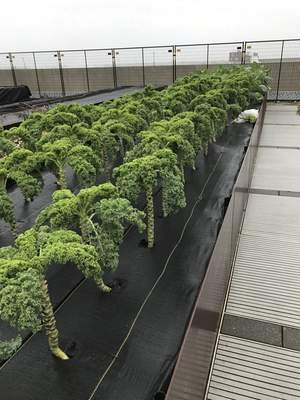 Dave Gong   The Journal Gazette  Stalks of kale grow out of planters at The Sky Farm at Eskenazi Health in Indianapolis. The Sky Farm was designed five years ago by David Rubin Land Collective, which was recently contracted by the city of Fort Wayne to design and plan phases 2 and 3 of downtown riverfront development.