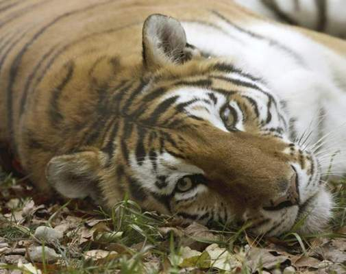 Courtesy Black Pine Animal Sanctuary  Jai, an 18-year-old female tiger, was found dead by keepers Friday morning. Black Pine suspects the tiger suffered from a brain tumor, as she had been suffering from seizures and an abscess since last year.