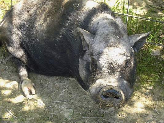 Courtesy Black Pine Animal Sanctuary  Arnold, a 14-year-old potbellied pig, died Wednesday after health complications at Black Pine Animal Sanctuary.