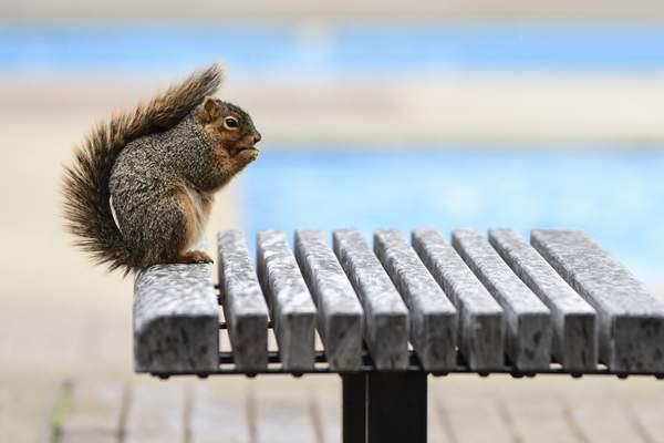Mike Moore | The Journal Gazette A squirrel enjoys its lunch on a park bench at Freimann Square on Monday.