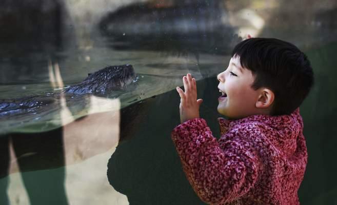 Katie Fyfe | The Journal Gazette  Spencer McKenna watches the otters swim and play at the new exhibit at the Fort Wayne Children's Zoo on Sunday.