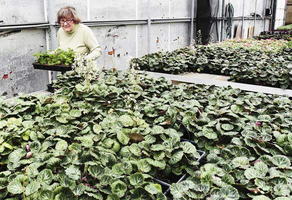 File Lawton Park Greenhouse raises plants that will be part of the Foellinger-Freimann Botanical Conservatory's Mother's Day Plant Sale beginning today at McMillen Park on Abbott Street.
