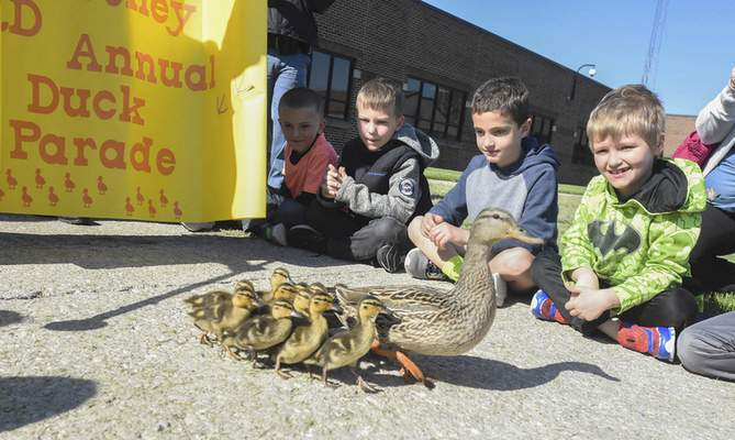 Kindergarten students in Alex Beeching's class at Arcola Elementary School watch as Courtney Waddlesworth leads her 13 ducklings from the courtyard to the creek that runs along the school's property line Tuesday morning. Courtney has led three sets of ducklings from the school grounds. (Photos by Michelle Davies | The Journal Gazette)