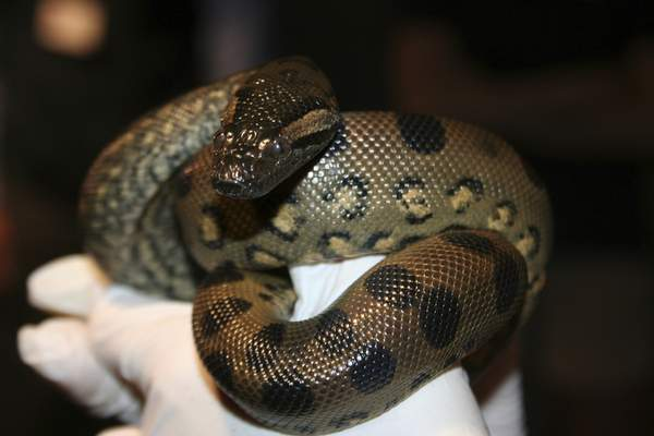 Courtesy of the New England Aquarium  This young anaconda was born via parthenogenesis, meaning its mother impregnated herself without any male help.