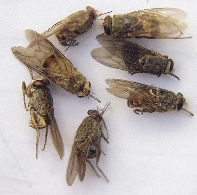 Associated Press Dead tsetse flies are pictured in a labaratory in Ethiopia. The insects spread an infectious disease that kills livestock by the millions in Africa.