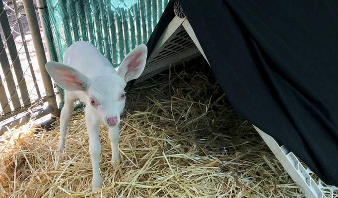 An albino fawn, who was rescued by a trucker in Woodland, California is cared for at the Kindred Spirits Fawn Rescue Thursday, May 30, 2019 in Loomis, California. (Lezlie Sterling/The Sacramento Bee via AP)