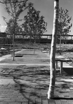 June 20, 1973: The instant forest of Freimann Square as it neared the final stages of construction. This section of the park featured honey locust trees planted in a brick walkway. The walkway was designed so the bricks could be removed as the trees grew. (JG file photo)