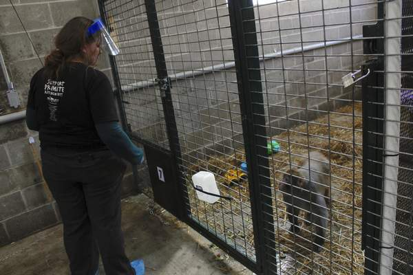 In this May 13, 2019, photo, Amy Kerwin feeds Mars at Primates Inc., in Westfield, Wis. Kerwin started the sanctuary, which took its first monkeys in 2018. (AP Photo/Carrie Antlfinger)