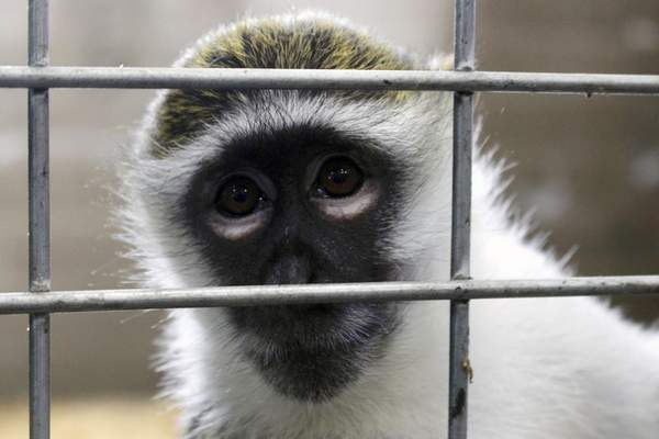 In this May 13, 2019, photo, Bella the vervet monkey looks at the camera at Primates Inc., in Westfield, Wis. Besides Bella, previously a pet, the sanctuary has five rhesus macaque monkeys that were previously used in medical research. (AP Photo/Carrie Antlfinger)
