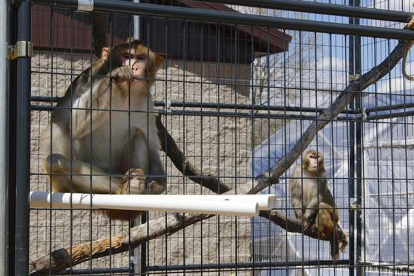 In this May 13, 2019, photo, River, left, and Timon, both rhesus macaques, sit in an outdoor enclosure at Primates Inc., in Westfield, Wis. (AP Photo/Carrie Antlfinger)