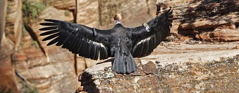 In this May 13, 2019 photo provided by the National Park Service is a female condor in Zion National Park, Utah. (National Park Service via AP)