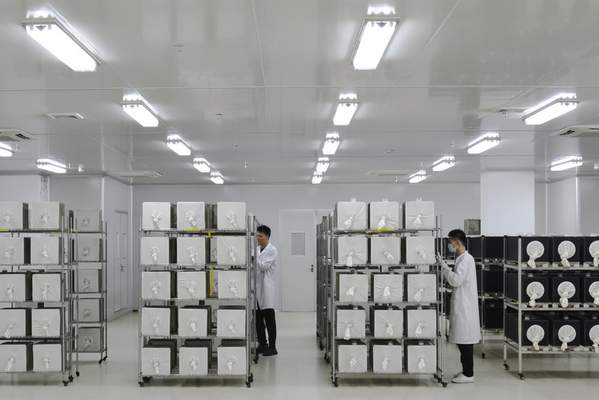 This July 13, 2019 photo provided by Guangzhou Wolbaki Biotech shows containers where adult Aedes albopictus mosquitoes are being raised at the company's lab in Guangzhou, China. (Guangzhou Wolbaki Biotech via AP)