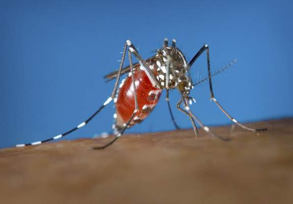FILE - This 2003 photo provided by the Centers for Disease Control and Prevention shows a female Aedes albopictus mosquito acquiring a blood meal from a human host. (James Gathany/Centers for Disease Control and Prevention via AP)