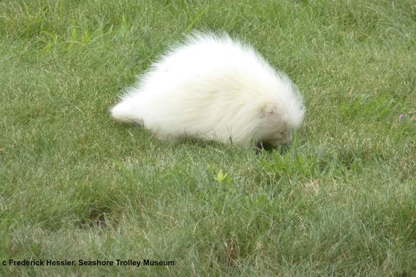 In this Tuesday, July 16, 2019, photo taken provided by the Seashore Trolley Museum, a rare albino porcupine waddles around near the Seashore Trolley Museum in Kennebunkport, Maine. The museum asked for help identifying the strange animal after it appeared on the grounds this week. (Fred Hessler/Seashore Trolley Museum via AP)