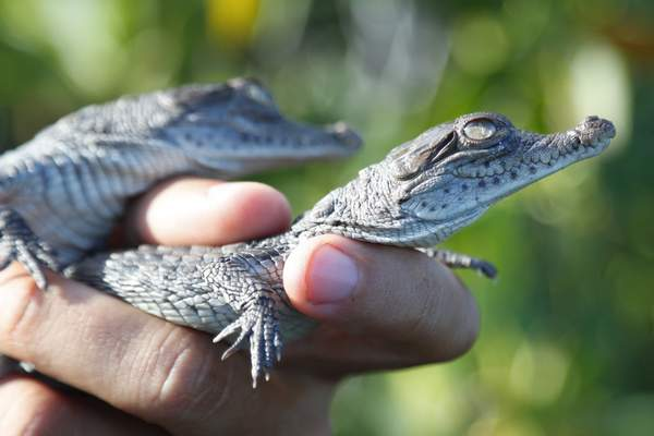 Associated Press Wildlife biologist Michael Lloret releases baby crocodiles into the wild along cooling canals around the Turkey Point nuclear generating plant in Homestead, Fla., on Friday.