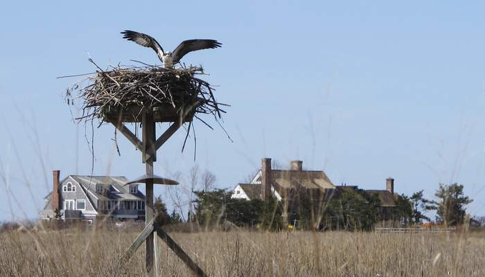 In this April 2, 2019 photo, an osprey lands on a nest in the marsh in front of multimillion-dollar homes along a peninsula in Old Saybrook, Conn. (AP Photo/Dave Collins)
