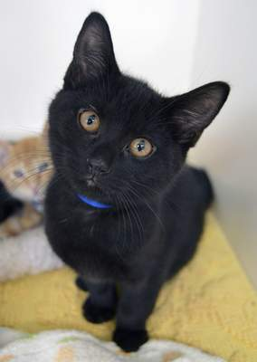 Allen County SPCA Pong is a neutered 2-month-old domestic shorthair/mix who has not been declawed. For more information about him or any other pet at Allen County SPCA, 4914 S. Hanna St., call 744-0454 or go to www.acspca.org.