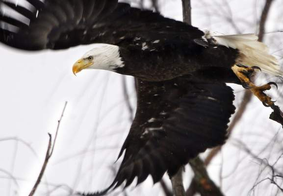 Associated Press A bald eagle takes flight in Winchester, Va., in 2016. It's one of many species spared from extinction by the Endangered Species Act since 1973.
