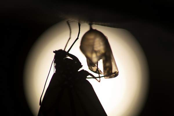 A monarch butterfly is silhouetted suspended near its empty chrysalis soon after emerging in Washington, Sunday, June 2, 2019. (AP Photo/Carolyn Kaster)