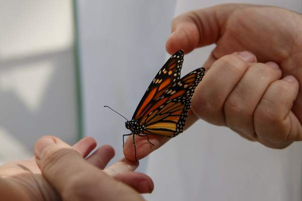 Laura Moore directs a fresh new monarch butterfly from her finger to her 3-year-old neighbor Thomas Powell in her Greenbelt, Md., yard, Friday, May 31, 2019. (AP Photo/Carolyn Kaster)