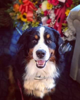 This June 11, 2019 photo shows Fiona, a Bernese mountain dog at a funeral home in New York. Fiona passed the test to become the club's 1 millionth