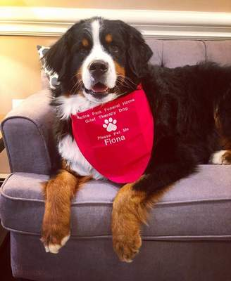 This July 18, 2019 photo shows Fiona, a Bernese mountain dog at a funeral home in New York. Fiona passed the test to become the club's 1 millionth