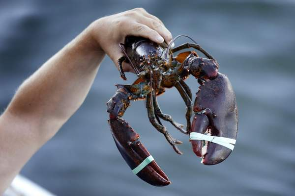 In this Saturday, Aug. 24, 2019, photo a 3.5 pound lobster is held by a dealer at Cape Porpoise in Kennebunkport, Maine. (AP Photo/Robert F. Bukaty)